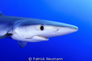 Blueshark Portrait @ Azores, Portugal by Patrick Neumann 